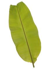Single green light banana leaf on white background.
