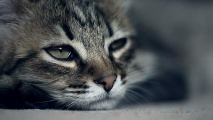 Close up of a muzzle of a kitten falling asleep