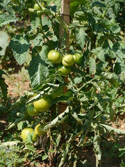 Tomatoes in a tomato plant in an allotment garden