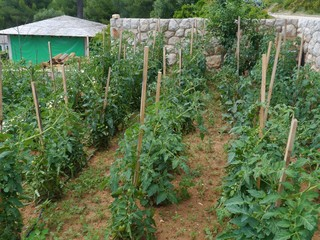 Tomato plants in an allotment garden