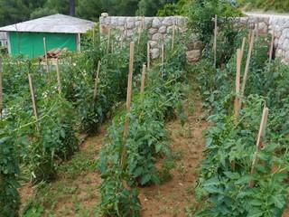 Tomato plants in an allotment garden