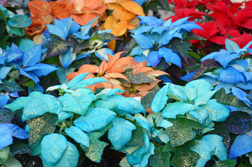Multicolored christmas poinsettias