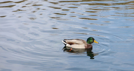 Male mallard duck and rippled water
