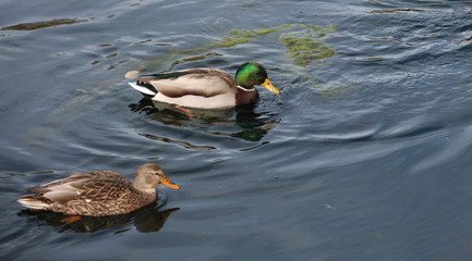 Mating Pair of Mallard Ducks