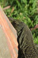 Crocodile Monitor - rainbow eucalyptus