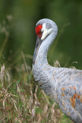 Sleeping Sand hill crane