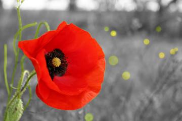 Red poppy flower outdoors