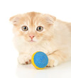 Cute little Scottish fold kitten with ball, isolated on white