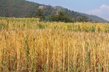 Golden color of Wheat field along the mountain in Sanga, Nepal