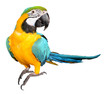 Leinwanddruck Bild - Blue and Gold Macaw