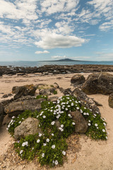 wild daisies on Takapuna beach