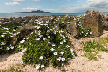 rocky beach in Takapuna with  white daisies