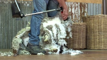Sheep shearer shear wool from a merino sheep