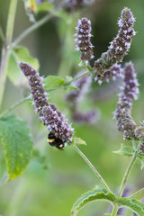 Bumblebee pollinating on Agastache