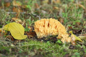 Coral fungi, Ramaria flavobrunnescens