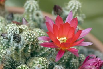 Kaktussbluete