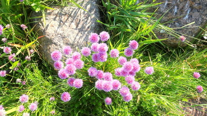 sea bright large blossoming clover
