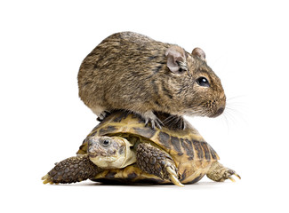 small rodent on turtle