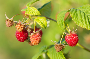 Branch of a red raspberry