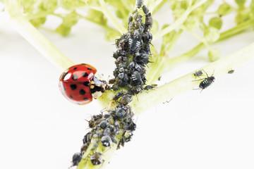 Marienkäfer (Coccinellidae) auf einer Holunderblüte