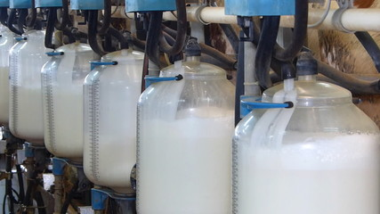 Bottles with milk, milking cows on farm