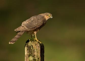 Juvenile Eurasian Sparrowhawk on a post
