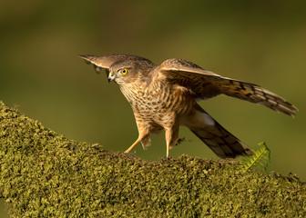 Juvenile Eurasian Sparrowhawk (Accipiter nisus)