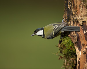 Great Tit (Parus major) in a tree trunk in spring