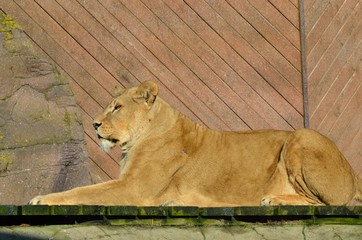 Large lion in sphinx pose