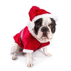 French bulldog in santa costume for Christmas over white