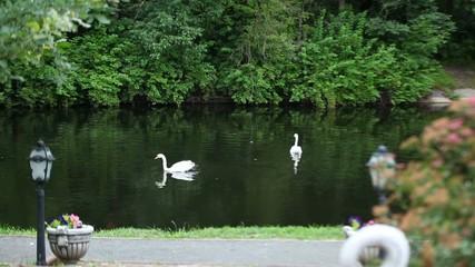 Swan, pond, lake.
