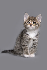 little grey tabby kitten