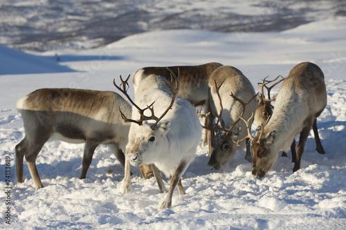 Foto op Aluminium Scandinavië Reindeers in natural environment, Tromso region, Northern Norway