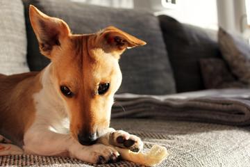 Jack Russell Terrier kaut verlegen an seinem Knochen