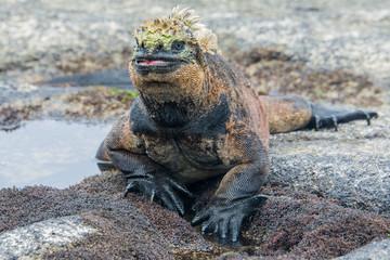 Galapagos marine iguana, Isabela island