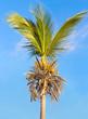 cocotier taillé