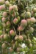mangues manguier