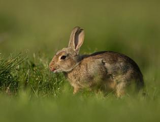 Wild rabbit grazing