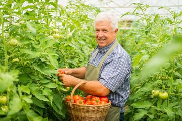 Gardener harvesting fresh tomatoes