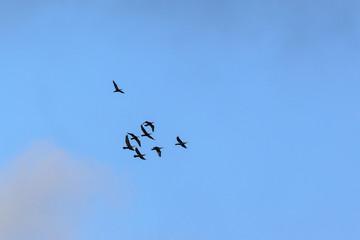 Flock of cormorants flying in the sky