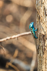 A Blue Lizard perching on the dried tree