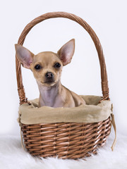 Chihuahua mexican inside a basket