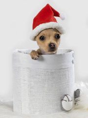 Chihuahua mexican Christmas