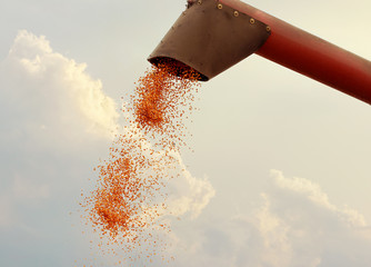 Maize grain falling from harvester