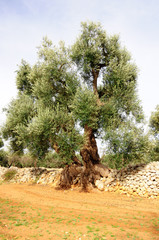 Ulivi secolari Puglia