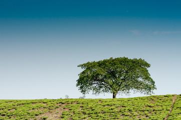 Lonestanding Tree