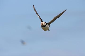 pulcinella di mare uccello marino in volo isole farne scozia