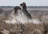 Zebra Fight, Etosha, Namibia