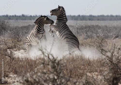 Papiers peints Zebra Zebra Fight, Etosha, Namibia