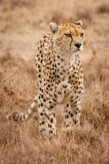 cheetah wildlife tanzania